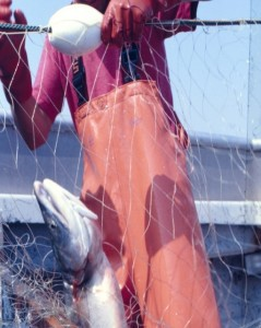 A salmon caught in a gill net.