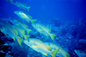Yellowtail snapper (Ocyurus chrysurus). An estimated 3 to 9 million individuals of this species are caught each year