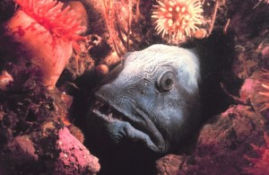 An Atlantic wolffish (Anarhichas lupus) hiding in the rocks. The average annual capture tonnage for this species is 33,000 tonnes. With an estimated average weight of 15 pounds, or 6800 g, an estimated 5 million such animals are caught each year.