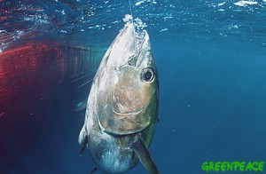 A big-eye tuna caught on a long line. In long line fishing, the fish may remain captured for many hours, or even days.