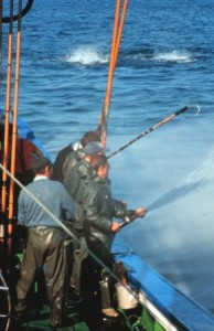Water is sprayed to prevent the tuna from noticing the activity on deck. Notice the gaff hook used to impale the caught tuna to bring them aboard.