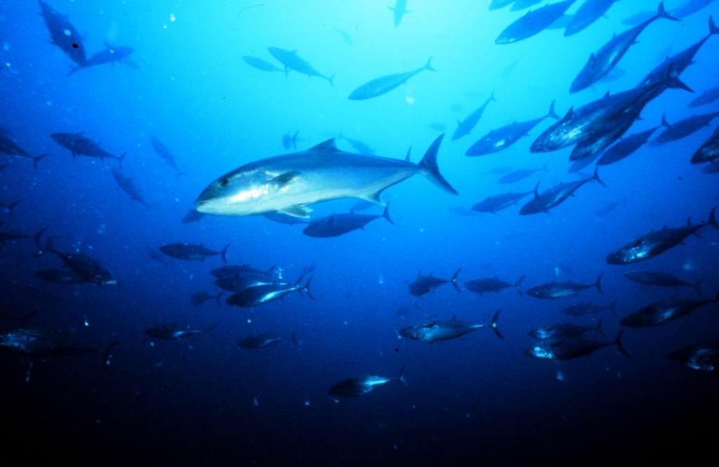 Great amberjack (Seriola dumerili). An estimated 90 to 300 thousand individuals of this species are caught each year