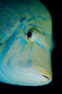 Emperor fish, Queensland, Australia