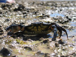 Shore crab (Carcinus maenas