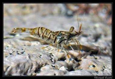 Glass prawn (Palaemon elegans)